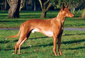 Pharaoah Hound